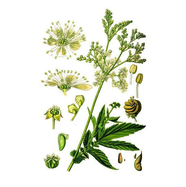 Таволга или лабазник вязолистный как лекарственное растение известно людям очень давно